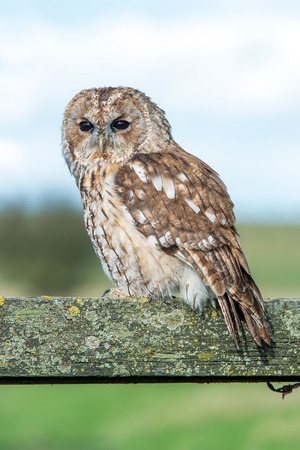tawny owl: Tawny Owl Strix Aluco Stock Photo