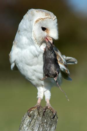 feather: Barn Owl Tyto Alba Foto de archivo