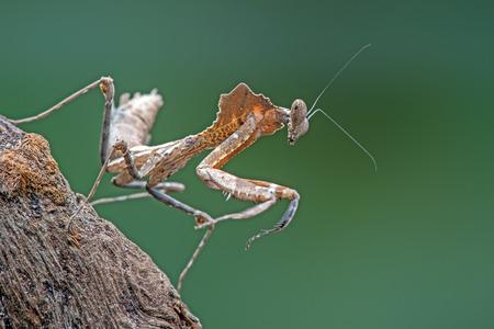 exoskeleton: Dead Leaf Praying Mantis Deroplatys Dessicata