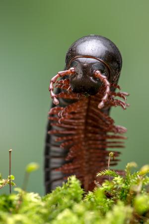 North American Millipede Narceus Americanus