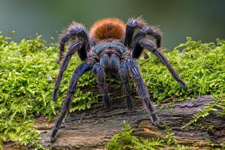 arachnophobia animal bite: Greenbottle Blue Tarantula Chromatopelma Cyaneopubescens Stock Photo