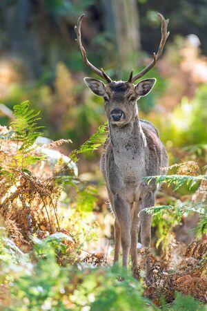 hunted: Fallow Deer Dama Dama