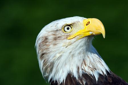 leucocephalus: Bald Eagle Haliaeetus Leucocephalus