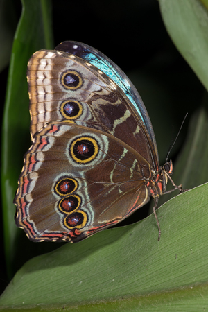 polymorphism: Blue Morpho Butterfly Morpho Peleides Stock Photo