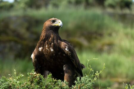 chrysaetos: Golden Eagle Aquila Chrysaetos