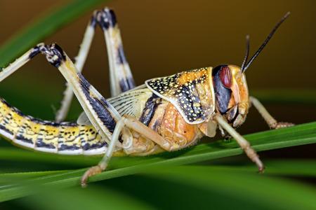 langosta: Schistocerca gregaria langosta del desierto