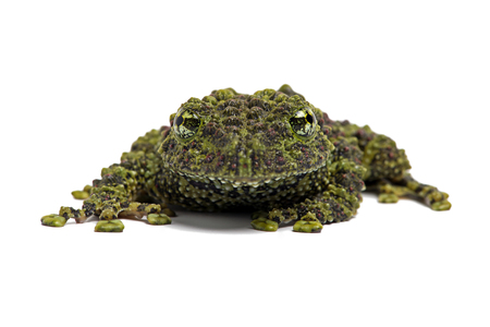 croak: Vietnamese Mossy Frog Theloderma Corticale Stock Photo