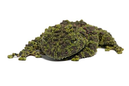 mossy: Vietnamese Mossy Frog Theloderma Corticale Stock Photo