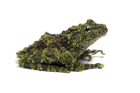 Vietnamita Mossy Frog Theloderma corticale Archivio Fotografico