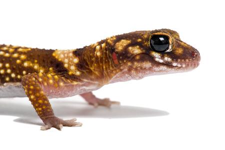 Australian Barking Gecko Underwoodisaurus Milii