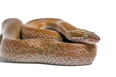 limbless: Cape House Snake Boaedon Capensis