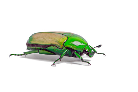 africana: African Jewel Beetle Chlorocala Africana Stock Photo