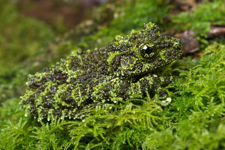 grenouille: Frog Mossy vietnamien theloderma corticale