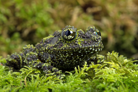 semi aquatic: Vietnamese Mossy Frog Theloderma Corticale Stock Photo