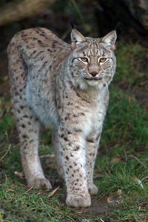 hiss: Eurasian Lynx