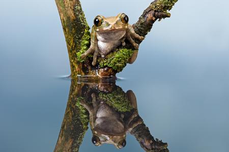 bright eyed: Peacock Tree Frog Leptopelis Vermiculatus