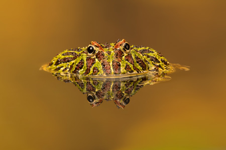 voracious: Argentinian Horned Frog Ceratophrys Ornata Stock Photo