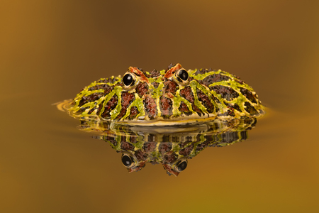 Argentinian Horned Frog (Ceratophrys Ornata) Stock Photo
