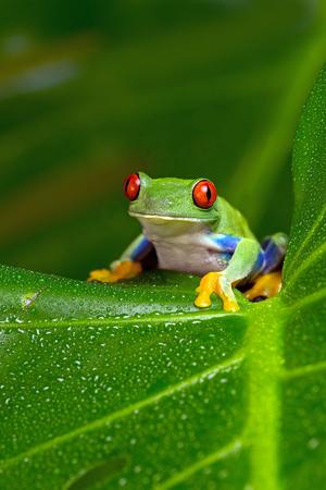 Red-Eyed Amazon Tree Frog (Agalychnis Callidryas)