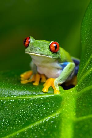 agalychnis: Red-Eyed Amazon Tree Frog (Agalychnis Callidryas)