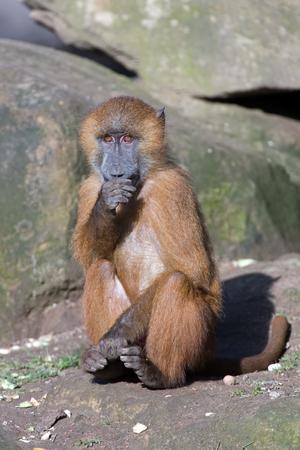 omnivore animal: Guinea Baboon (Papio Papio) Stock Photo