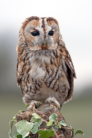 Tawny Owl (Strix aluco) perched on ivy covered stump