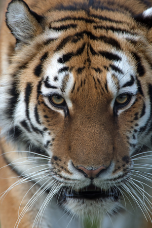 Close up portrait of Siberian Tiger (Panthera tigris altaica)