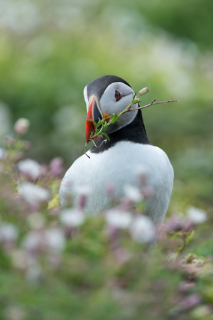 Atlantic Puffin (Alca arctica) with nesting material at the Wick on Skomer Island Stock Photo