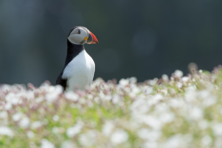 Atlantic Puffin (Alca arctica) amongst the ground cover of The Wick on Skomer Island