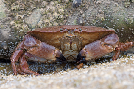 Brown Crab (Cancer pagarus) on a barnacle covered rock