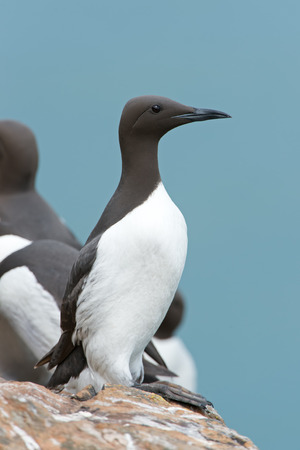 Guillemot (Uria aalge) perched on a cliff at the coast