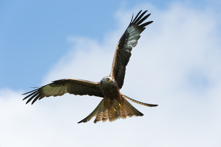 Red Kite (Milvus milvus) Stock Photo
