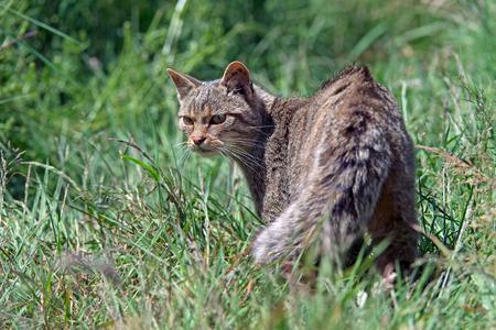 Scottish Wildcat (Felis silvestris grampia) in deep green grass