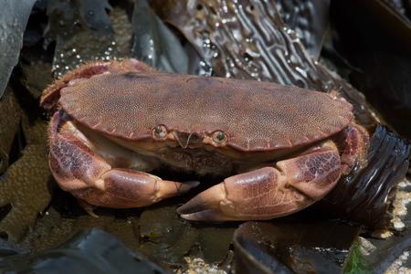 Brown Crab (Cancer pagurus)