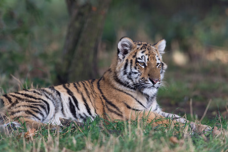 Siberian Tiger Cub (Panthera tigris altaica) resting on the forest floor Stock Photo