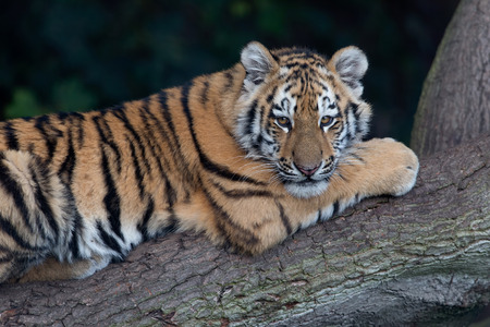 Siberian Tiger Cub (Panthera tigris altaica) resting on a tree trunk