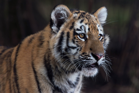Siberian Tiger Cub (Panthera tigris altaica) close up portrait
