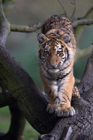 Siberian Tiger Cub (Panthera Tigris Altaica) walking down a fallen tree trunk