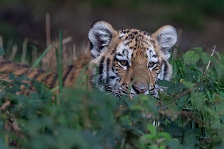 Siberian Tiger Cub (Panthera tigris altaica) laying in wait in deep green foliage