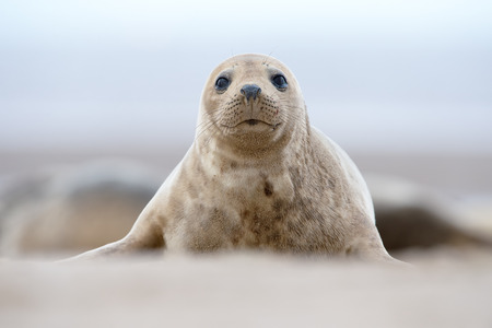 Atlantic Grey Seal Pup (Halichoerus grypus) on sandy beach Reklamní fotografie