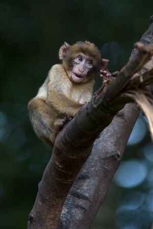 Young Barbary Macaque (Macaca Sylvanus) in a tree