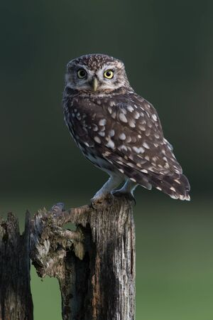 Little Owl (Athene Noctua) perched on an old wooden stump in farmland 版權商用圖片