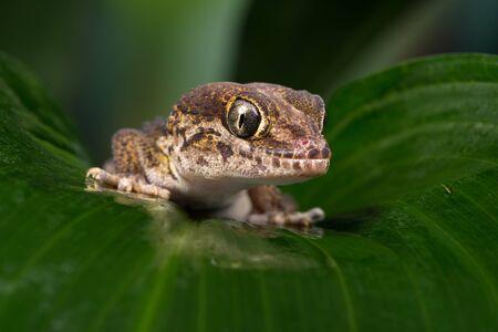 Ocelot Gecko (Paroedura pictus) Фото со стока - 139801507