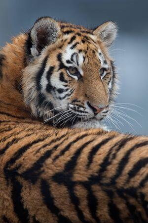 Siberian Tiger Cub (Panthera tigris altaica) Reklamní fotografie