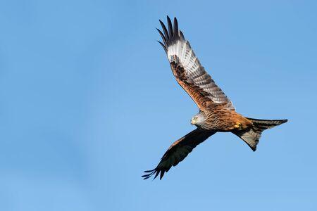 Red Kite (Milvus milvus) flying through a clear blue summer sky