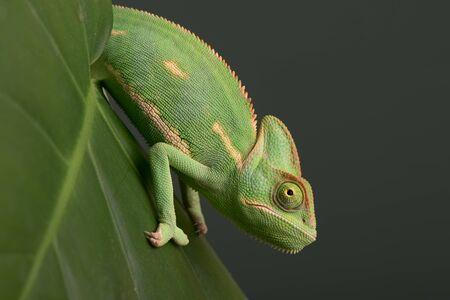 Juvenile Veiled Chameleon (Chamaeleo calyptratus) on palm leaf