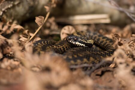 Common European Viper (Vipera berus) basking in leaf litter