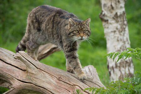 Scottish Wildcat (Felis silvestris grampia) Reklamní fotografie