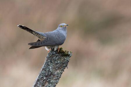 Cuckoo (Cuculus canorus) perched on a post in farmland Reklamní fotografie