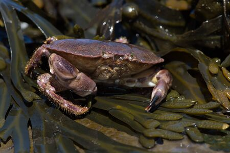 Brown Crab (Cancer pagurus) on seaweed covered rock